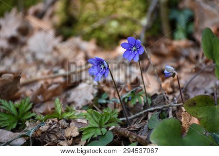 Beautiful Blue Anemones Blossom On A Forest Ground
