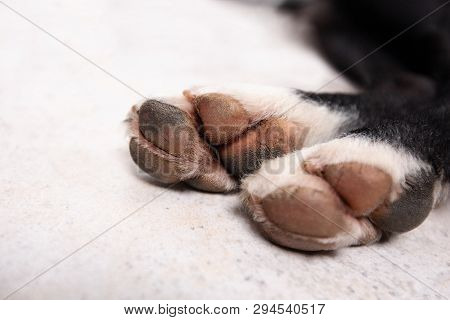 Clouse Up Dog Paw Cracks. Dog Paw Hygiene Problems.pet Care Concept.