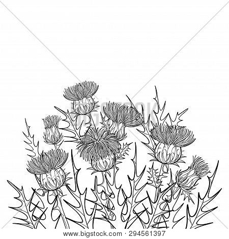 Vector Thickets Of Outline Welted Thistle Or Carduus Plant, Spiny Leaf, Bud And Flower Bunch In Blac