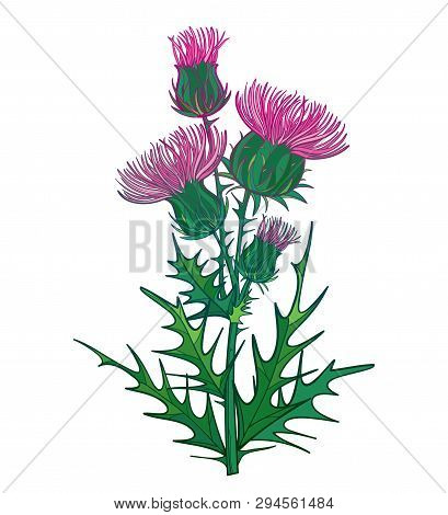 Vector Branch With Outline Welted Thistle Or Carduus Plant, Green Spiny Leaf, Bud And Pink Flower Is