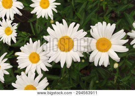 Flowering Of Daisies. Oxeye Daisy, Leucanthemum Vulgare, Daisies,  Common Daisy, Dog Daisy, Moon Dai