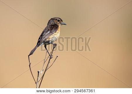 Close-up Of A Stonechat Female Sitting On A Perch With A Soft Green Background