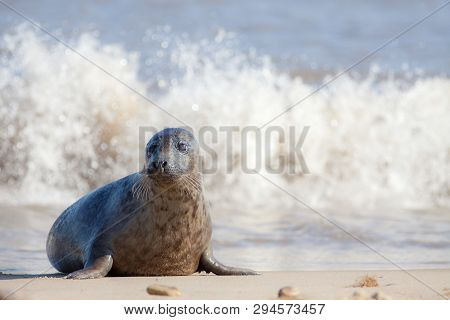 Vulnerable Wildlife. Sad Frightened Looking Young Animal. Cute Baby Seal Alone On The Beach. Nature