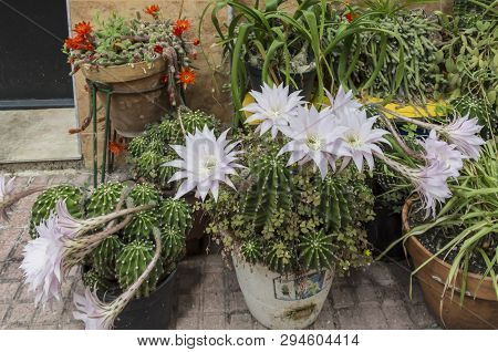 Flowers Of Easter Lily Cactus In The Summer