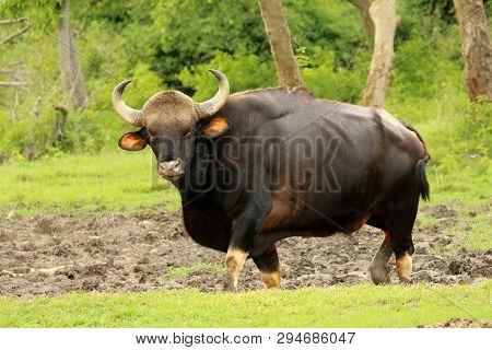 Indian Bull Guar, Bos Gaurus, Bandipur National Park, Maharashtra State Of India