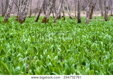 Wild Garlic Ramson Field Or Bear Garlic Growing In Forest In Spring