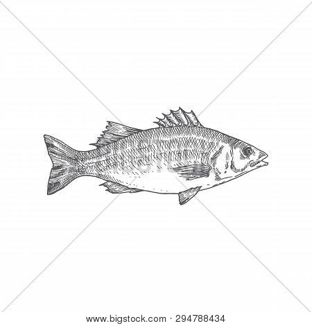 Sea Bass Hand Drawn Vector Illustration. Abstract Fish Sketch. Engraving Style Drawing.