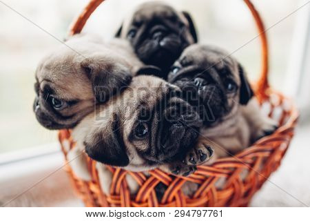 Pug Dog Puppies Sitting In Basket. Little Puppies Having Fun. Breeding Dogs