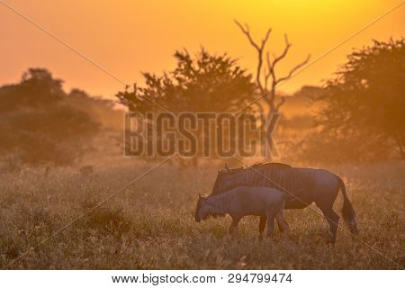 Savanna bush back lit by Orange morning light with two Common Blue Wildebeest or Brindled Gnu (Connochaetes taurinus) walking by on famous S100 road in Kruger national park South Africa poster