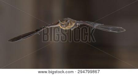 Pipistrelle Bat (pipistrellus Pipistrellus) Flying On Attic Of Church In Darkness
