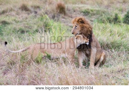 Interation between male and female lions in the Masai Mara.