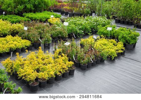 Young Spirea Plants In Plastic Pots, Seedling Of Trees, Bushes, Plants At Plant Nursery.