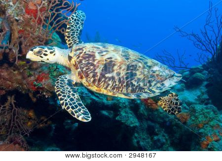 Hawksbill Turtle Against The Blue