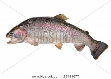 Rainbow Trout - Oncorhynchus Mykiss