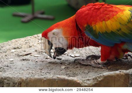 Parrot Enjoying Sunflower Seeds