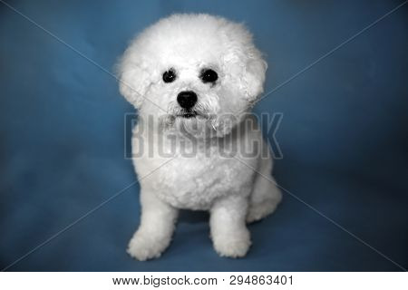 Bichon Frise dog. A small female bichon frise dog portrait on a blue seamless background. Mans best friend is a dog.   Black and white colorized conversion.