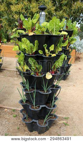 Chard. Rainbow Chard plant. Home Grown Rainbow Chard. Swiss Chard plant. Green vegetable.