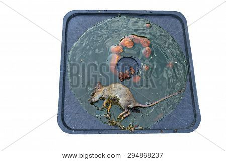 Dirty Rat Captured On Convenient And Effective Disposable Non-toxic Glue Trap Board With Bait On Cem