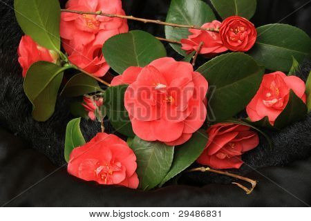 Red camellias over black background