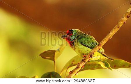 Malabar Barbet, Megalaima Malabarica, Ganeshgudi, Karnataka State Of India