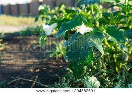 Plants of Datura. Showing green leaves and white blooming blossom which be both a poisonous ornamental plants. poster