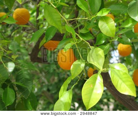 Orange Tree Background