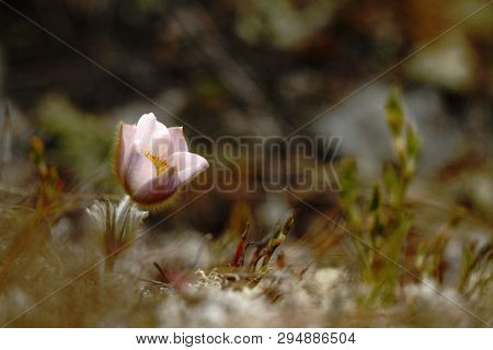 Spring Pasque Flower, Pusatilla Vernalis  Grow In Meadow With Natural Background, Wallpaper Natural