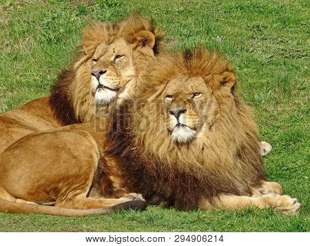 The African Lion (lat. Panthera Leo). Male Lions Have A Large Mane Of Thick Hair Up To 40 Cm. Brothe