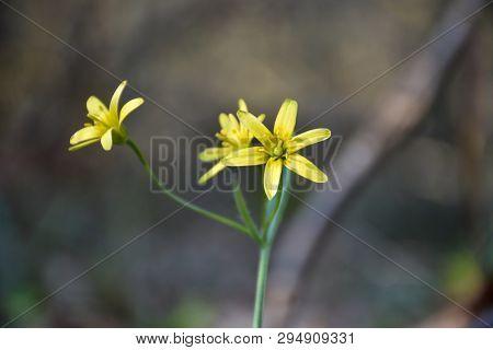Beautiful Blossom Springtime Flowers, Star Of Bethlehem