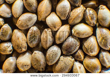 Macro Detail Of Marijuana Seed. Close Up. Hemp Seeds Background In Macro. Many Cannabis Seeds. Organ