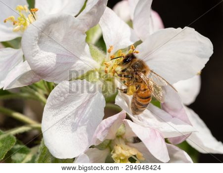Bee collecting nectar and pollinating an apple flower in spring