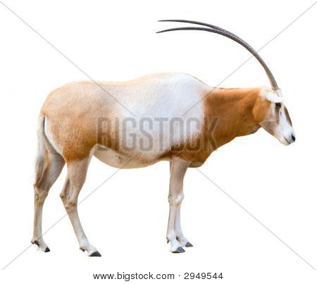 Scimitar Horned Oryx (damma) isolated on white poster