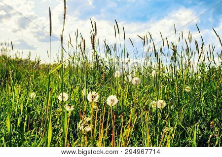 Summer landscape. Green tall grass and white fluffy summer dandelions on the foreground under soft sunlight, summer field nature. Sunny summer landscape