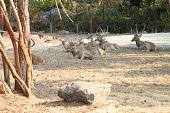 Brow-Antlered Deer in Khao Suan Kwang Zoo Khon Khan Thailand. poster