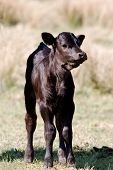 Young calf standing tall and proud - his coat is glossy and shiny poster