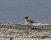 Little Ringed Plover on shore of Weir Wood Reservoir poster