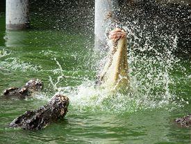 Crocodile Eat Meat In The Water, In Pattaya Crocodile Farm And Zoo, Thailand