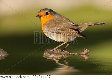 British Robin Redbreast Perched On A Log In Water In Early Morning Sunlight. Close Up Of Natural Wil