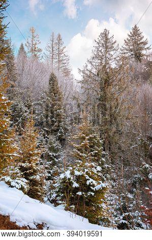 Forest On A Misty Morning. Trees In Hoarfrost. Beautiful Winter Scenery In Foggy Weather
