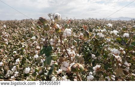 Cotton crop landscape with ripe cotton bolls on branch wide angle perspective.