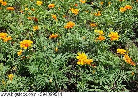 Beginning Of Florescence Of Tagetes Patula In June