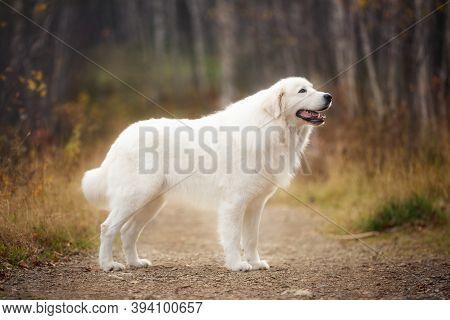 Portrait Of Big Beautiful Maremma Dog Standing In The Autumn Forest. White Fluffy Italian Sheepdog