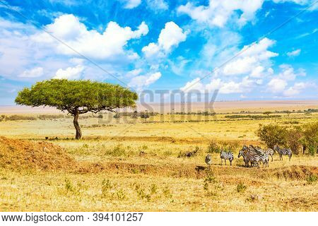Common Zebras Equus Quagga Walking In The Masai Mara National Park Near Big Acacia Tree. African Lan