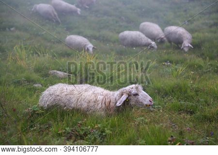 Himalayan Sheep In Upper Himalaya Region. Sheep Are Quadrupedal, Ruminant Mammals Typically Kept As