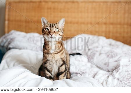 Beautiful Pet Cat Sitting On Bed In Bedroom At Home Looking Up. Relaxing Fluffy Hairy Striped Domest