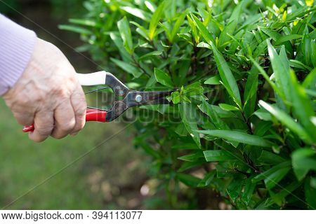 Asian Senior Or Elderly Old Lady Woman Trim The Branches With Pruning Shears For Taking Care Garden