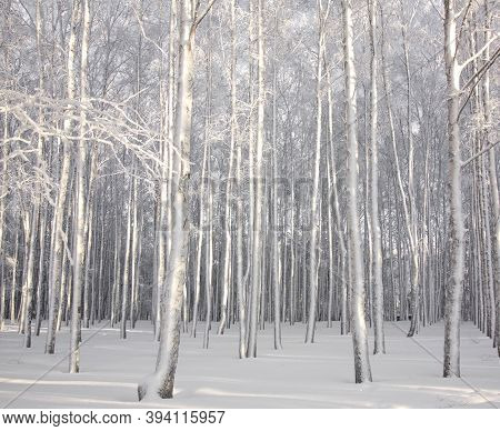 Snowy Birch Trees In Winter Sunlight Black And White