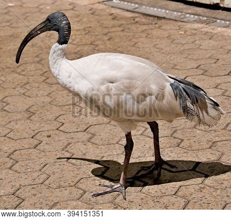 Australian White Ibis Closeup Standing On A Paved Walkway. Colourful Nature Image. Sydney, Australia