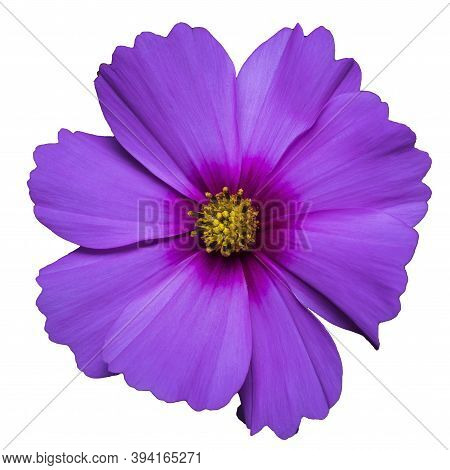Purple Flower Of Cosmea Bipinnatus, Cosmos Bipinnatus, Isolated On A White Background