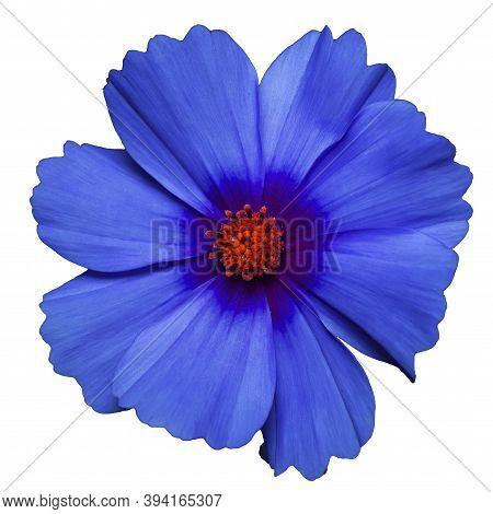 Classic Blue Flower Of Cosmea Bipinnatus, Cosmos Bipinnatus, Isolated On A White Background